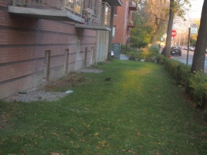 NDG black squirrel  on lawn