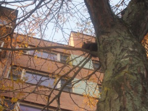NDG black squirrel in tree