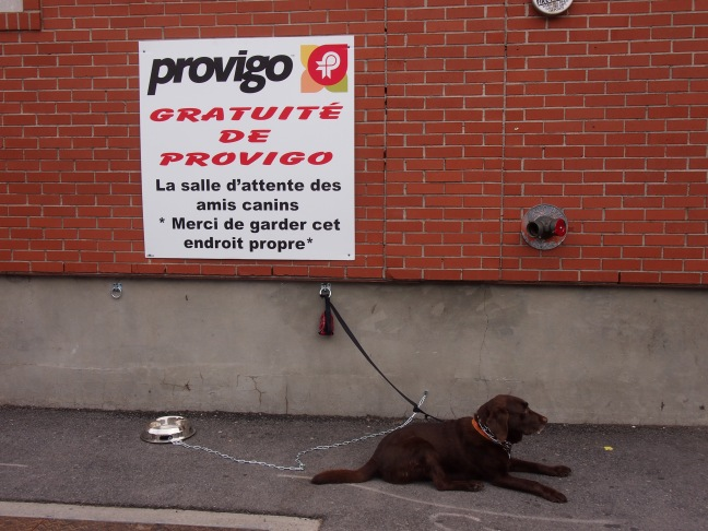 berenice, a labrador dog on a leash tied to wall, lies down on pavement waiting for her owner